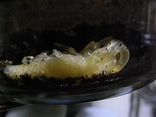 パプキン蛹1