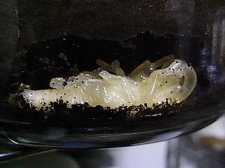 パプキン蛹2