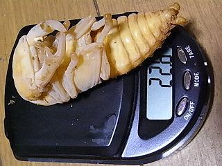久留米 蛹1