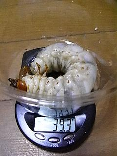 グラン88 幼虫2