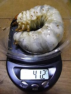 グラン88 幼虫3