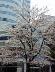 hibiyasakura2204.jpg