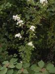 お花の咲いた蔓
