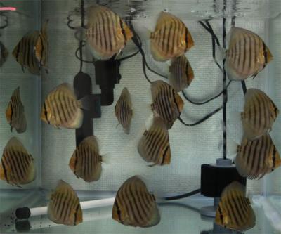 7-31幼魚