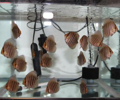 幼魚7-12