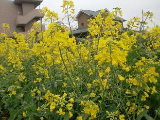 4-20菜の花c