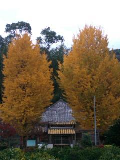 新 古寺のいちょうSN3R0583_convert_20111209194338