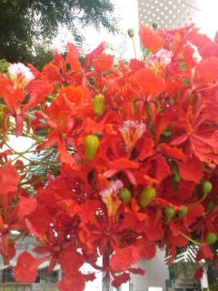 新 真っ赤な花 SN3R03280001_convert_20111209194752