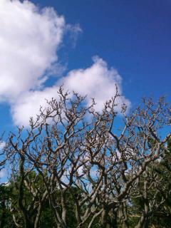 七つ。沖縄天に向かう木・N3R0474_convert_20120102165940