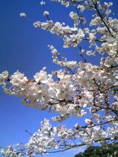 新しい政庁跡の桜 100326謾ソ蠎∬キ。縺阪l縺・↑譯彑1448+01_convert_20120321071650