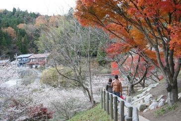 豊田市小原 四季桜 遊歩道
