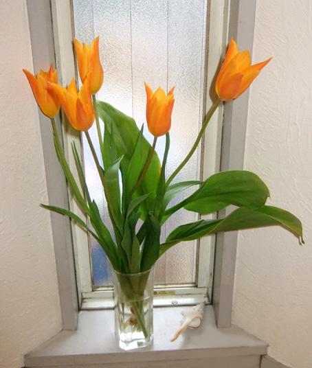 20100226 Tulip 003 16cm
