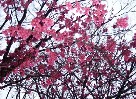 20100312 寒緋桜 005 19cm