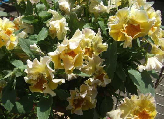 20100418 ムーランルージュ 005 黄色 19cm