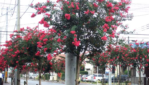 20100824 さるすべり 013 街路樹 赤 20cm