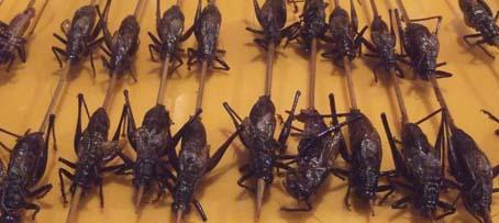 20100921 北京市内観光 171 コウロギ 16cm
