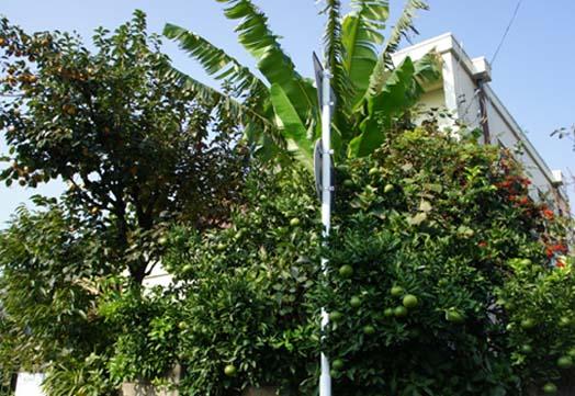 20101108 果樹庭 18.5cm