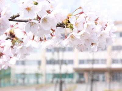 秋田の卒業アルバム スクール撮影 桜風景