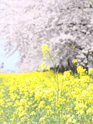 菜の花&さくら