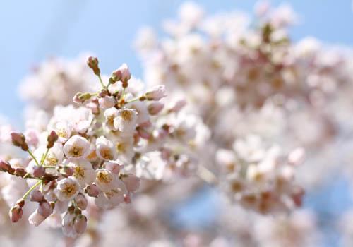 2012桜01
