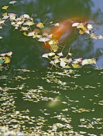 延命寺(蓮池の鯉)