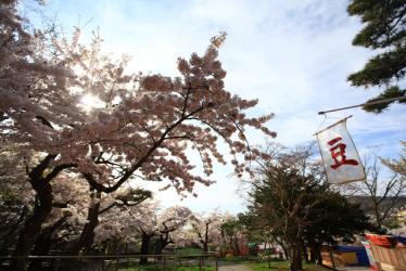 サクラ函館公園 051