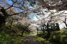 サクラ函館公園 041