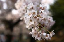 サクラ函館公園 064-2