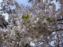 サクラ函館公園 186