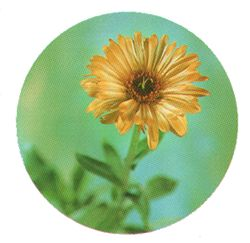Mariegold-Calendula.jpg