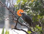 bird-hiyo