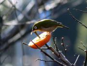 bird-mejiro01