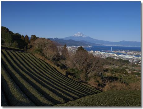 茶畑と富士