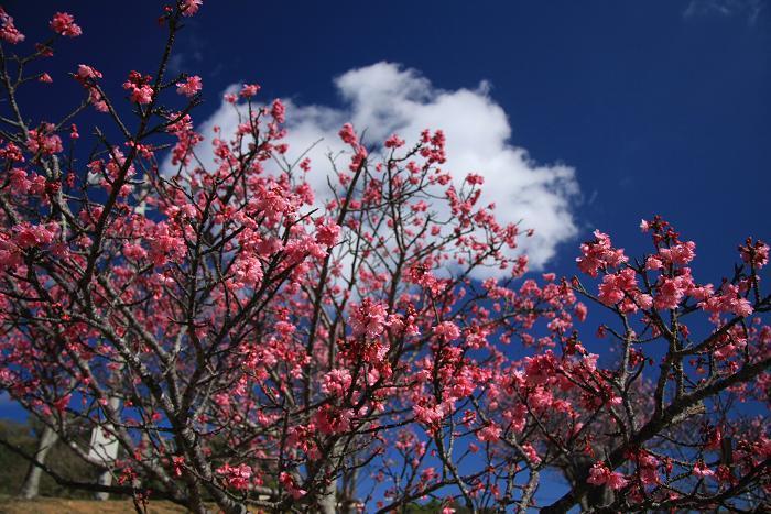 寒緋桜、1