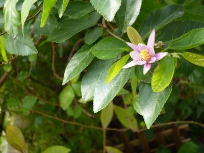 実家の花12