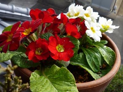 実家の花14