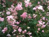 jamcahokkaido_pinkflower