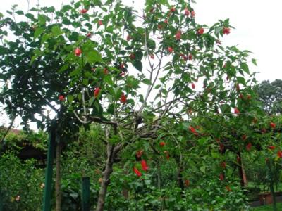 ハイビスカスの木