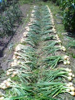 トマトの支柱立て&玉ねぎ収穫2