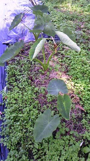 玉葱の植え付け3