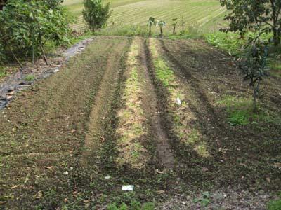 里芋を収穫1