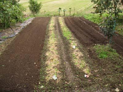 里芋を収穫2