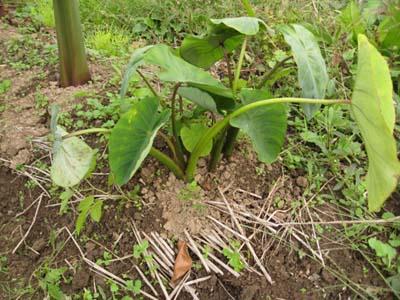 里芋を収穫3