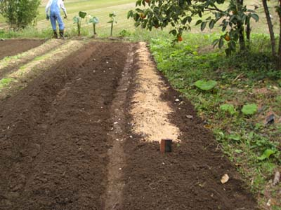 里芋を収穫4