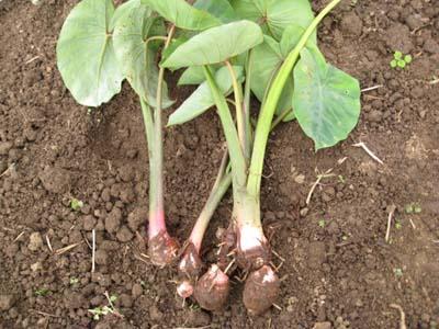 里芋を収穫5