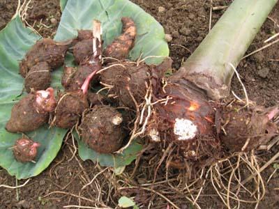 里芋を収穫6