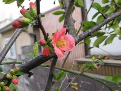 木瓜の花2