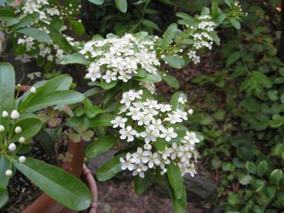 ピラカンサの花1