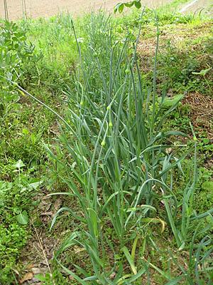 ニンニクの芽収穫1