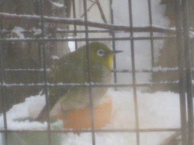 雪の中のメジロ2